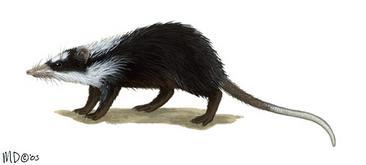 Echinosorex Gymnura
